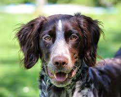 Low Shedding Dogs In India by Small Munsterlander Pointer Dog Breed Information Pictures
