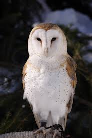 Our Jazzy June Raptor Of The Month Is Jazz The Barn Owl! | Focus ... Barn Owl Outdoor Alabama Owl Wikipedia Trust On Twitter Cservation Handbook A Wednesday Birdnation Wirral Home Facebook Audubon Field Guide Review Course By Martin Oconnor Arbtech Legal Status The Rspb Eastern Singapore Birds Project Barnowltrust Owls Owls Of The Niagara Region