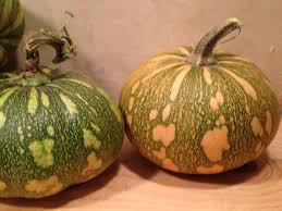 What Kinds Of Pumpkins Are Edible by Caribbean Pumpkin