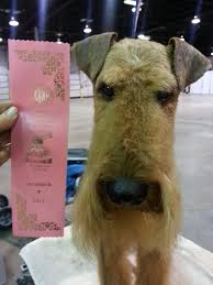 Airedale Terrier Non Shedding by 31 Best Grooming Airedale Terrier Images On Pinterest Airedale