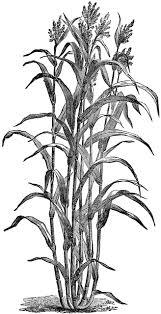 Chinese Sugar Cane