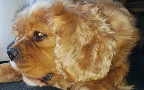 Cavapoos Do They Shed by Do Cavalier King Charles Spaniels Shed Their Fur Spanielking