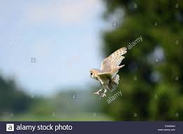 Flying Barn Owl Stock Photo, Royalty Free Image: 85388370 - Alamy Barn Owl Tyto Alba 4 Months Old Flying Stock Photo Image Beauty Of Bird Our Barn Owl The Tea Rooms Chat Rspb Community A Flying At Folly Farm In Pembrokeshire West Wales Winter Spirit By Hontor On Deviantart Audubon Field Guide Vector 380339767 Shutterstock Wallpaper 12x800 Hunting A Royalty Free Tattoos Tattoo Ideas Proyectos Que Debo Ientar