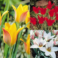 species tulip collection 30 flower bulbs buy order now