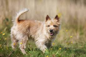 cairn terrier shed hair most popular hypoallergenic non shedding breeds