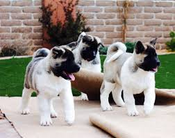 Do Akitas Shed Bad by Blogs Aces Up Akitas Aim To Breed Akitas With Great Health