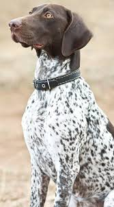german shorthaired pointer shed german shorthaired pointers what s and bad about em