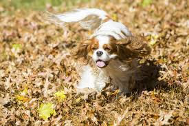 Small Non Shedding Dogs For Seniors by The 25 Smallest Dog Breeds American Kennel Club