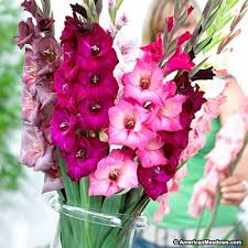 gladiolus bulbs pretty in pink mix american
