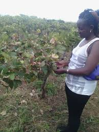 Types Of Pumpkins Grown In Uganda by A Complete Guide On Grapes Farming In Kenya Farmers Trend