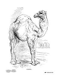 Free Camel Coloring Page