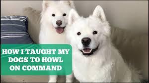 Do Samoyed Huskies Shed by How I Taught My Samoyeds To Howl On Command Youtube