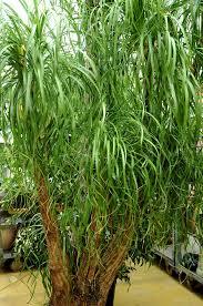 entretien plante grasse d interieur beaucarnea cultiver et entretenir ooreka