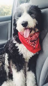 Non Shedding Large Dogs by 29 Best Sheepadoodle Images On Pinterest Doodle Dog Sheep Dogs