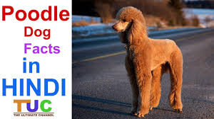 Lhasa Apso Poodle Mix Shedding by Poodle Dog Dog Facts Popular Dogs The Ultimate Channel Youtube