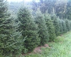 Fraser Fir Christmas Trees Nc by Fresh Cut Balsam Or Fraser Fir Christmas Tree Certifikid