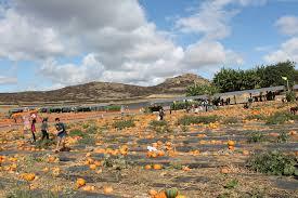 Swans Pumpkin Farm Hours by Tanaka Farm Pumpkin Patch O C Local Farm U2013 One Cool Thing Every