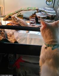 Bearded Dragon Heat Lamp Times by Cat And Bearded Dragon Love Taking Naps Together After Forming An