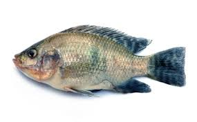 Nile Tilapia Fish On White Background