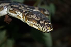 Coastal Carpet Python Facts by South West Carpet Python Perth Zoo