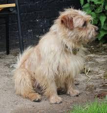 Do Wheaten Terriers Shed by 100 Do Wheaten Terrier Puppies Shed Kc Reg Soft Coated