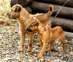 Do Border Terriers Shed by Smooth Border Terrier Natural History