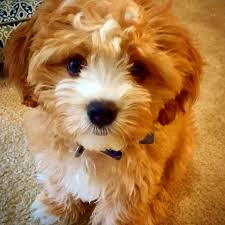 Do Cavapoos Shed A Lot by Precious Cavachon Cross Between A Cavalier King Charles