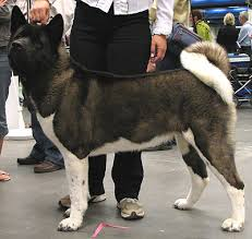 Do Akita Dogs Shed Hair by Japanese American Akita Working Breed Dogs Online Dog