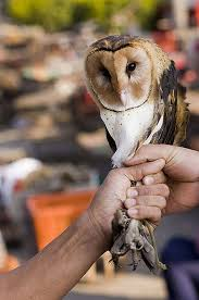 The Illegal Wildlife Trade - China - ESDAW Barn Owl New Zealand Birds Online Audubon California Starr Ranch Live Webcams Barn Red My Pet Pupo The Barn Owl Mouse Youtube Babyowl Explore On Deviantart Adopt An The Wildlife Trusts Wikipedia Owlrodent Research Project Vineyard Owl Lookie My Pet Growing Up Growing Up Album Imgur Made Out Of Wood And Plant Materials I Found At Parents