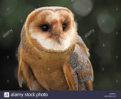 Portrait Of Alert Captive Dark Morph Barn Owl (Tyto Alba) At A ... Barn Owl Looking Over Shoulder Perched On Old Fence Post Stock Eccles Dinosaur Park Carnivore Carnival The Salt Project Barn Moving Head Side To Slow Motion Video Footage 323 Best Owls Images Pinterest Owls Children And Free Images Wing White Night Animal Wildlife Beak Predator 189 Beautiful Birds Sat A Falconers Glove Photo Royalty Image Paris Owl 150 Pictures Snowy More