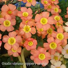 buy flowers bulbs oxalis and get free shipping on aliexpress