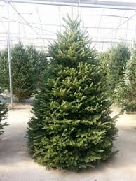 Fraser Fir Christmas Trees Delivered by Christmas Trees