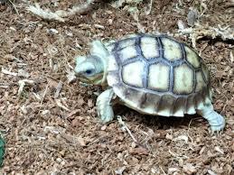 Flukers Turtle Clamp Lamp by 100 Het For Ivory Sulcata Tortoise For Sale Baby Sulcata Tortoise