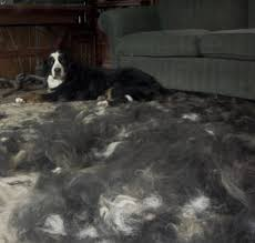 No Shed Dogs Illinois by Bernese Mountain Dogs Shed