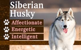 Dogs That Shed The Least Amount by Personality Traits Of A Siberian Husky The Domesticated Wolf Dog