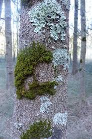 100 Casuarinas Moss And Lichen On Casuarinas Berowra Backyard