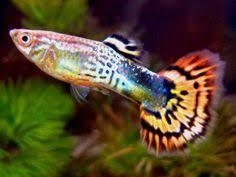 poisson eau douce aquarium tropical mini poissons pour nano aquariums nanodouce aquarium