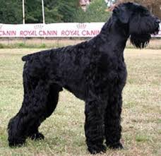 giant schnauzer dog breed remarkable dogs
