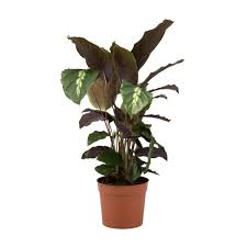 Potted Plants For The Home Tropical Dieffenbachia Plant New York