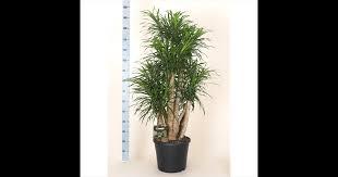 dracaena drachenbaum gartencenter streb