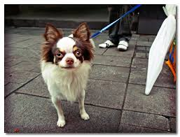 Do Long Haired Chiweenies Shed by Comparing The Differences Between Long Coat And Smooth Coat Chihuahuas