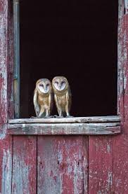 Best 25+ Barn Owls Ideas On Pinterest | Beautiful Owl, Owls And ... Barn Owl Audubon Field Guide Swallow Facts For Kids Information About Owls Dk Find Out Hinterland Whos Who Family Ties Chicks Let Their Hungry Siblings Eat First Words On Birds Central Coast Vineyard Team And Pge Nest Box Program Cold Snowy Winter Stock Photo Image 43833726 Tips Encouraging To Imagesnaturally May 2015 Blog