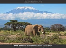 Elephant Bull In Front Of Mount Kilimanjaro Amboseli National Park Kenya