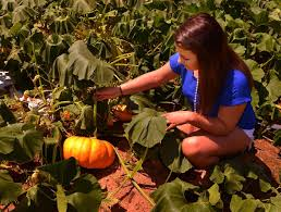 Johnson Farms Pumpkin Patch by Johnson Farms Preserves Traditions At Its New Apple Farm News