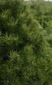 Types Of Christmas Trees To Plant by 9 Of The Best Real Christmas Trees And Where To Find Them The