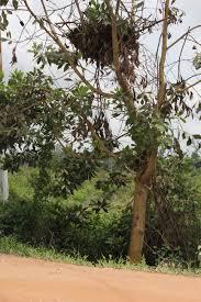 Christmas Tree Cataract Seen In by Orangutans Orangutan Foundation Part 2