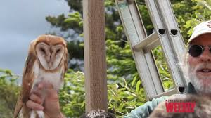 Barn Owls At The Hilton Bialek Habitat In Carmel Valley - YouTube Tasmian Masked Owl Wikipedia Sylvierland Moments And Thoughts Owl In Front Of The Farmer Writes Threats To Barn 13 October 2015 Free Barn New Zealand Birds Online Tyto Alba Species Owls Have Nesting Bonanza Region Npareilonlinecom How Find Photograph Owls Bird Photography Audubon Ms De 25 Ideas Increbles Sobre Sounds En Pinterest Kansas Citys Get All The Help They Need At Lakeside Nature Australia Australian Geographic Local Wildlife Landscape Our Local Voice