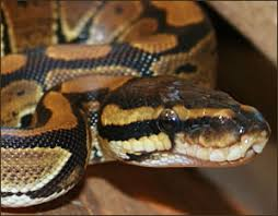 Ball Python Shedding Eating by Ball Python Care Guide And Species Profile Thatpetplace Com