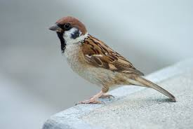 Eurasian Tree Sparrow - Wikipedia Best 25 Sparrow Bird Ideas On Pinterest Sparrows Small Sparrow Pretty Birds House Urban Noise Killing Baby House Sparrows Bbc News Bird Sing Pennsylvania Barn Golondrina Canto Swallow Mike Powell Wedding Venue The White 23 Best Event Space Barn Images Weddings Tattoos By Chronoperates Deviantart For The Barn Wedding Dallas Planner Grit Baby Puffcat