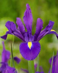 iris purple sensation dutchgrown